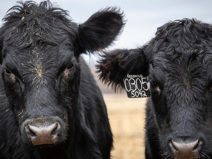 Veterinary Viewpoints- Disease Testing New Additions to a Herd – Oklahoma State University